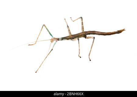 Bâton de marche géant (Megaphasma dentricus) femelle, animal de laboratoire captif.