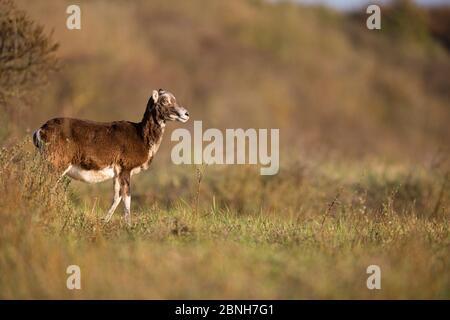 Espèce introduite en mouflon d'Europe (Ovis gmelini musimon), Réserve naturelle de la Baie de somme, Picardie, France, avril Banque D'Images