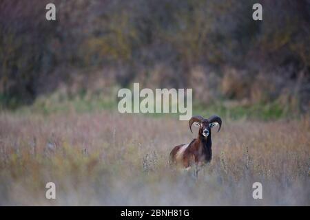 Mouflon européen (Ovis gmelini musimon) espèce introduite dans la Réserve de la Baie de nature somme, France, avril 2015 Banque D'Images