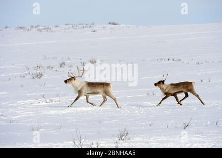 Deux rennes qui se trouvent dans la toundra (Rangifer tarandus) pendant la migration printanière. Yar-sale district, Yamal, Sibérie du Nord-Ouest, Russie. Avril. Banque D'Images