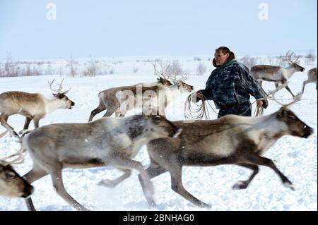 Rennes à tirant de Nenet (Rangifer tarandus). Yar-sale district, Yamal, Sibérie du Nord-Ouest, Russie. Avril 2016. Banque D'Images