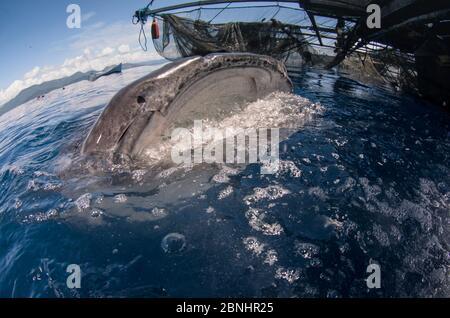 Requins-baleines (Rhincodon typus) se nourrissant à Bagan (plate-forme de pêche flottante) Cenderawasih Bay, Papouasie-Occidentale, Indonésie. Les pêcheurs Bagan voient des requins-baleines A. Banque D'Images