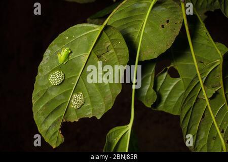 Fleischmann's glassfrog (Hyalinobatrachium fleischmanni) d'hommes qui fréquentent des œufs sur la face inférieure d'une feuille surplombant un ruisseau de la forêt tropicale, le mâle Banque D'Images