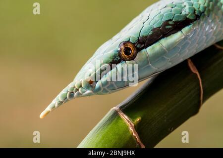 Rhynchochis Boulengeri} également connu sous le nom de (Rhynchochis Boulengeri de Rhinoceros, Rat Snake de Rhino, Snake de Longnose vietnamien ou Unicorn vert)
