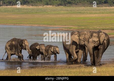 Éléphant asiatique (Elepha maxima), eau potable familiale et baignade, parc national Jim Corbett, Inde.