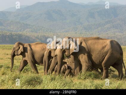 Éléphant asiatique (Elepha maxima), troupeau se nourrissant sur l'herbe. Parc national Jim Corbett, Inde.