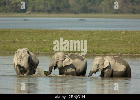 Éléphant asiatique (Elepha maxima), alimentation du troupeau sur les plantes aquatiques des terres humides, parc national Kaziranga, Inde