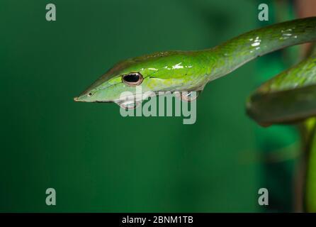 Serpent vert de vigne (Aheatulla nasuta), Agumbe, Karnataka, Ghats occidentaux, Inde. Banque D'Images