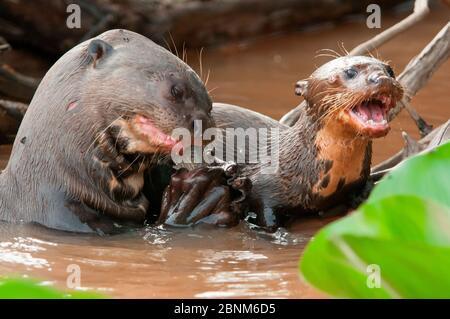 Loutre géant (Pteronura brasiliensis) adulte mangeant des poissons avec mendiant juvénile, Pantanal, Brésil. Prise en compte sur place pour la série BBC Wild Brazil.