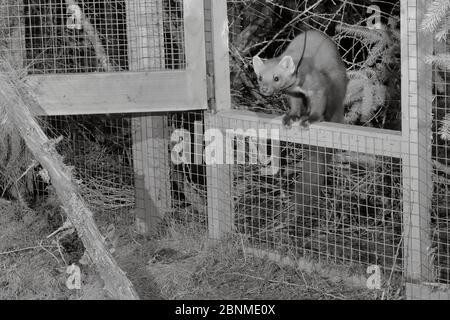 Marte de pin mâle à col radio (Martes martes) émergeant d'une cage temporaire à libération molle après la tombée de la nuit lors d'un projet de réintroduction par le Vincent