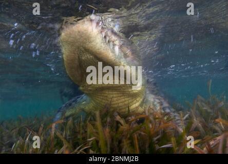 Crocodile américain (Crocodylus acutus) mouvement flou de l'animal se déplaçant dans les eaux peu profondes, Réserve de biosphère de Banco Chinchorro, région des Caraïbes, Mexique