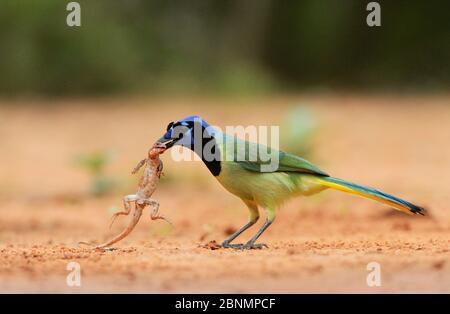 Geai vert (Cyanocorax yncas), adulte avec une proie de lézard, Rio Grande Valley, Texas du Sud, Texas, États-Unis. Mai Banque D'Images