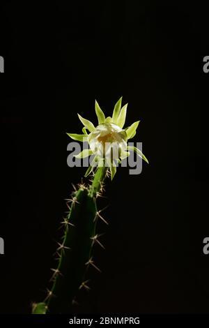 Cereus cactus (Acanthocereus tétragonus), ouverture nocturne des bourgeons floraux, Texas, États-Unis. Séquence 2 de 7. Août