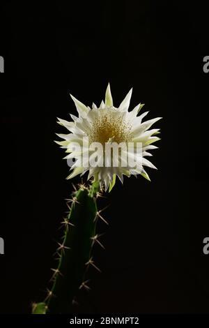 Cereus cactus (Acanthocereus tétragonus), ouverture nocturne des bourgeons floraux, Texas, États-Unis. Séquence 5 du 7 août