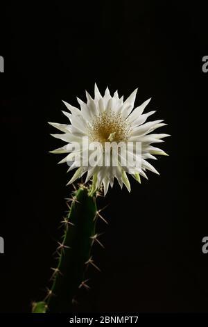 Cereus cactus (Acanthocereus tétragonus), ouverture nocturne des bourgeons floraux, Texas, États-Unis. Séquence 6 de 7. Août