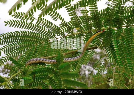 Serpent à breuque peint (Dendrelaphis pictus) dans l'arbre, Sumatra.