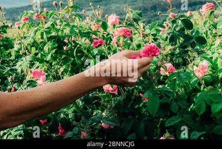Main d'un homme qui ramassant une belle rose rose Banque D'Images