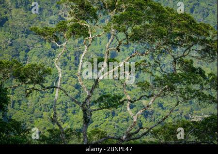 De magnifiques arbres de forêt tropicale à Cerro Pirre, parc national de Darien, province de Darien, République du Panama.