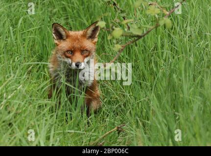 Un magnifique mâle de chasse, le renard rouge sauvage, Vulpes vulpes, assis dans la longue herbe à l'observation au printemps.