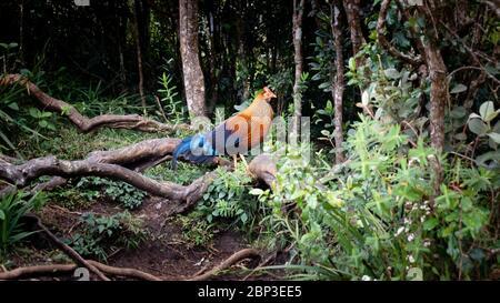 Le junglewhid sri lankais a repéré dans les plaines de Horton, où il est l'oiseau national au Sri Lanka Banque D'Images