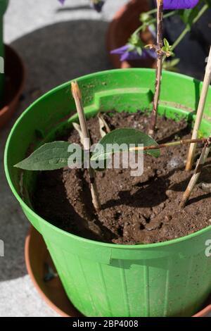 Brindilles de résineux dans une casserole, utilisées comme boutures de tiges pour propager les plantes. Philadelphus ou faux boutures de tige orange dans un vase vert avec sol. Tir vertical Banque D'Images