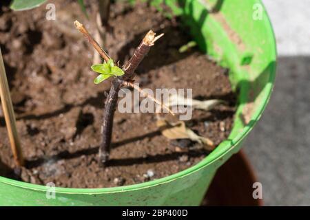 Nouveaux pousses d'une branche de bois dans un pot, utilisées comme boutures de tiges pour propager les plantes. Philadelphus ou tige orange factice coupant dans un vase vert avec ainsi Banque D'Images