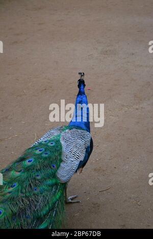 Un paon qui s'éloigne de l'appareil photo : col bleu vif et plumes de queue vertes et agréables. Petit personnage indien (pavo cristatus)