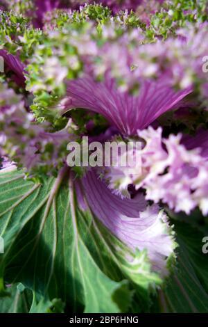 Belle fleur de laitue verte et violette Banque D'Images