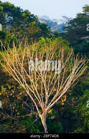 Lumière matinale dans la forêt tropicale du parc national de Soberania, République du Panama. Banque D'Images