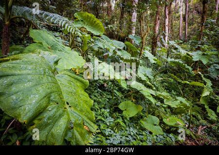 Végétation tropicale luxuriante sur le fond de la forêt tropicale dans le parc national de la Amistad, province de Chiriqui, République du Panama. Banque D'Images