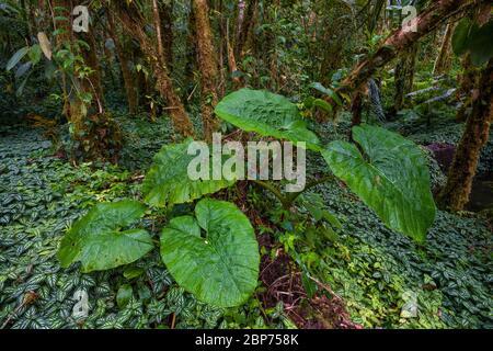Végétation tropicale luxuriante sur le fond de la forêt tropicale dans le parc national de la Amistad, province de Chiriqui, République du Panama.