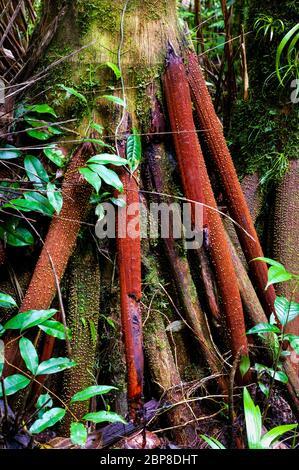 Arbre de randonnée dans la forêt tropicale luxuriante de Cerro Pirre dans le parc national de Darien, province de Darien, République du Panama