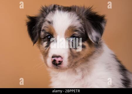 Red Merle Berger australien chiot, six semaines Banque D'Images