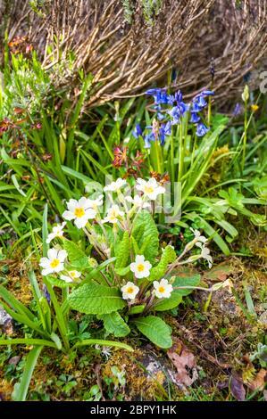 Jacinthes sauvages et primrose poussant dans un jardin de rocaille Branscombe, Devon, Grande Bretagne
