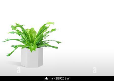 Plante domestique Asplenium nidus dans le pot de fleurs blanc isolé sur fond blanc