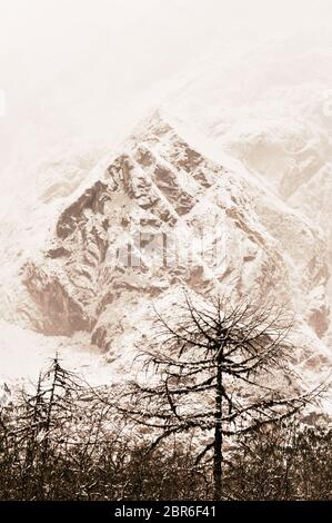 Blanc majestueux sapins allumé par la lumière du soleil. Les arbres couverts de neige duveteux frosty sur une belle journée, entre les hautes montagnes. Paysage rural earl