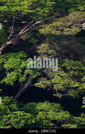 Lumière matinale dans la forêt tropicale luxuriante du parc national de Soberania, République du Panama. Banque D'Images