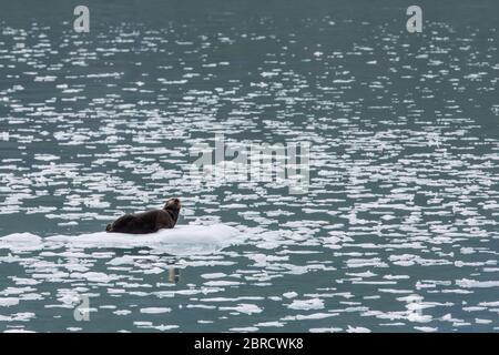 Le parc national de Glacier Bay, dans le sud-est de l'Alaska, aux États-Unis, accueille des excursions en bateau à travers des icebergs jusqu'au glacier Margerie et à la faune sauvage comme les loutres de mer, Enhydra lutris Banque D'Images