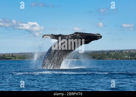 Baleine à bosse, Megaptera novaeangliae, braconnage, Kihei, Maui, Hawaii, sanctuaire marin national de la baleine à bosse d'Hawaï, États-Unis ( Océan Pacifique central )