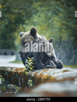 Moment émotionnel toussant d'une mère sauvage, l'ours embrassant son cub sur l'épaule de la célèbre route appelée Transfagarasan, Sibiu Banque D'Images