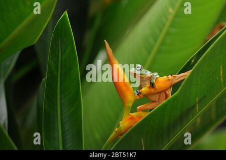 Dumpy grenouille d'arbre sur une fleur, l'Indonésie Banque D'Images