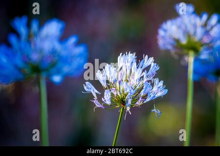 Belles fleurs bleues dans la forêt tropicale luxuriante du parc national de la Amistad, province de Chiriqui, République du Panama.