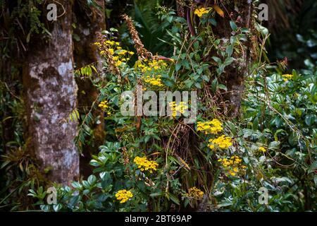 Belles fleurs jaunes dans la forêt tropicale luxuriante du parc national de la Amistad, province de Chiriqui, République du Panama