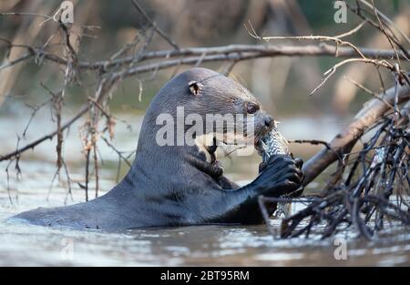 Gros plan d'une loutre géante de rivière mangeant un poisson dans un habitat naturel, Pantanal, Brésil.