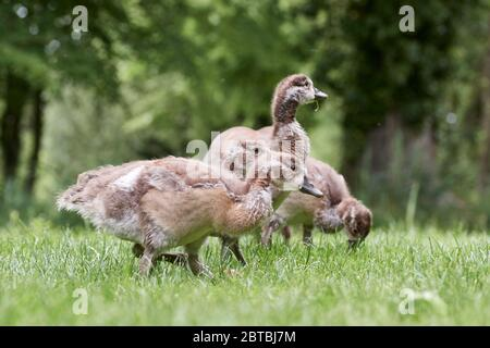 De mignons oisons de l'oie égyptienne ou de l'oie du Nil (Alopochen aegyptiaca) qui bissent dans la prairie de Rastatt, en Allemagne Banque D'Images