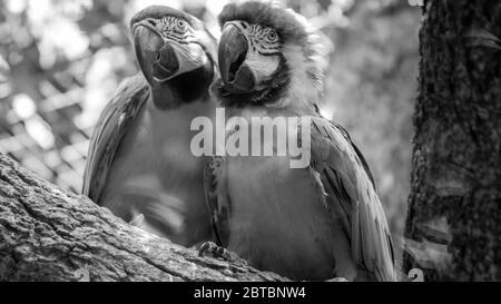 Portrait noir et blanc de deux perroquets de macaw assis sur la branche d'arbre dans la volière du zoo Banque D'Images