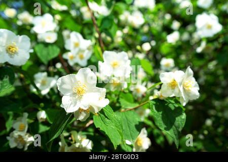 Jasmin fleurs, un vieux Bush ou une plante grimpant. Concept des ingrédients des parfums ou du ...