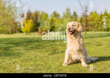 Magnifique chien Golden Retriever dans le parc. Chien intelligent, meilleur ami Banque D'Images
