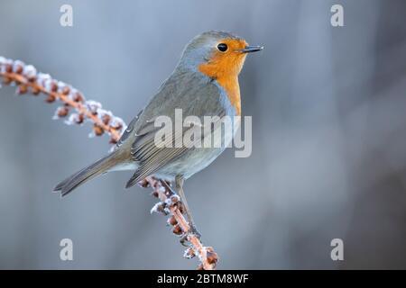 Robin européenne (erithacus rubecula), adulte perché sur une tige couvert de gel, Campanie, Italie Banque D'Images