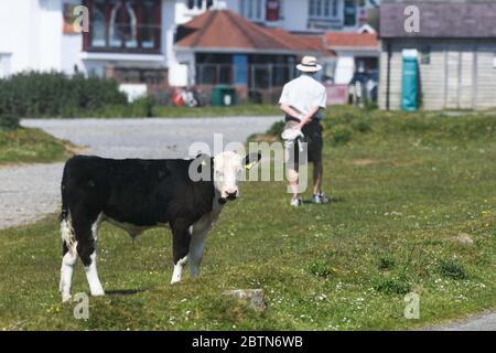 Swansea, pays de Galles, Royaume-Uni. 27 mai 2020. Le village normalement occupé de Southgate sur la péninsule de Gower dans le sud du pays de Galles a été pris en charge de vaches. Le troupeau, qui sont des habitués dans le village, sont en train de tirer le meilleur parti de la période de confinement plus calme, comme local conseille aux gens de rester loin. Les animaux apprécient les rues, le magnifique parcours de golf et les chemins en bord de mer. Gower, le premier Area of Outstanding Natural Beauty au Royaume-Uni, serait normalement plein de touristes à l'un des jours les plus chauds de l'année au pays de Galles et au Royaume-Uni. Crédit : Robert Melen/Alay Live News.